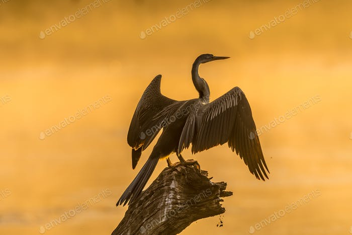 An african darter against the glare of sunrise