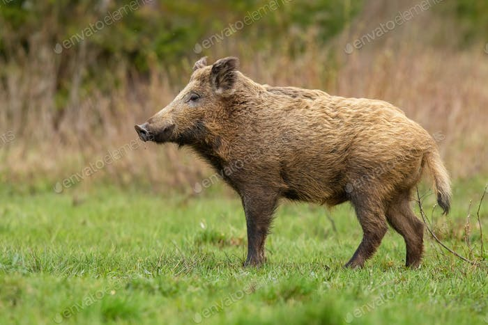 Big wild boar standing on meadow in autumn nature