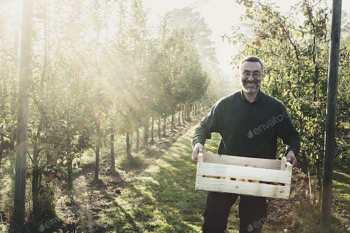 Lächelnder Mann steht in Apfelgarten, hält Kiste mit Äpfeln, Blick auf die Kamera. Apfelernte