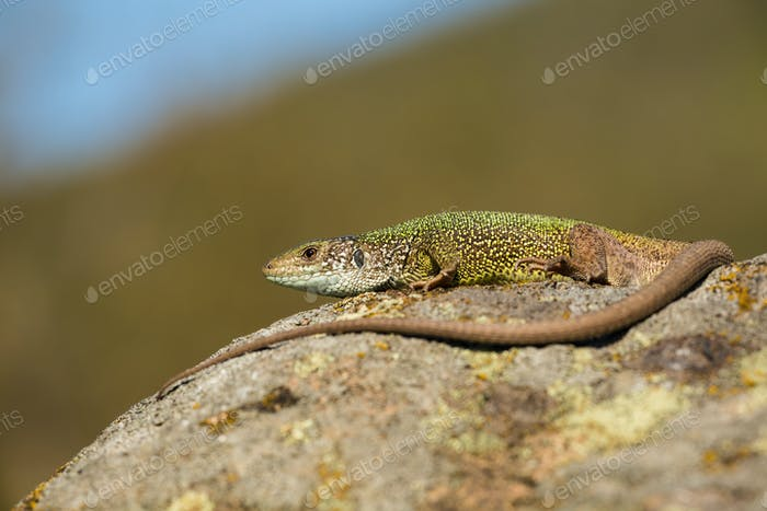 Inactive european green lizard with long tail sunbathing in summer nature