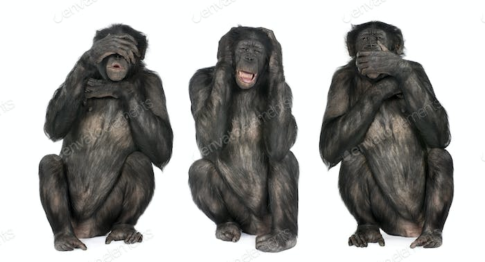 Three Wise Monkeys : Chimpanzee - Simia troglodytes (20 years old)