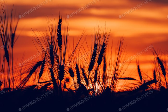 Silhouette of wheat ears in sunset