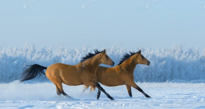 Two free horses gallops across field in winter.