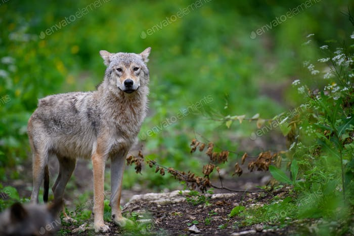 Wolf in summer forest. Wildlife scene from nature