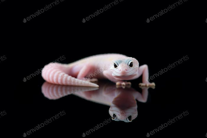The common leopard gecko isolated on black background
