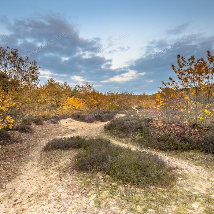 Footpath through heathland in yelow autumn colors square