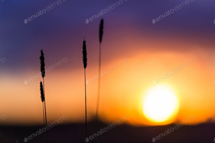 Grass on the sunset background