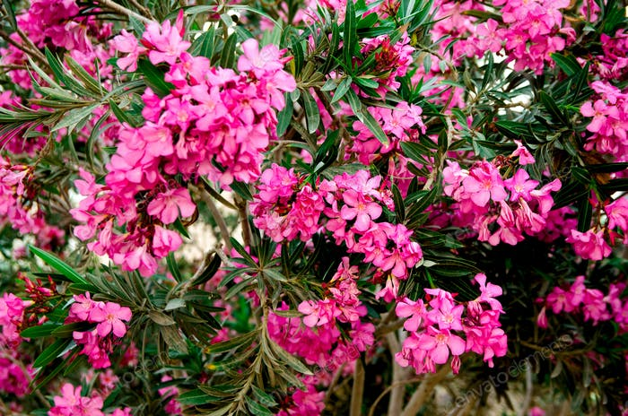 Blooming pink oleander flowers or nerium in garden. Selective focus. Copy space. Blossom spring