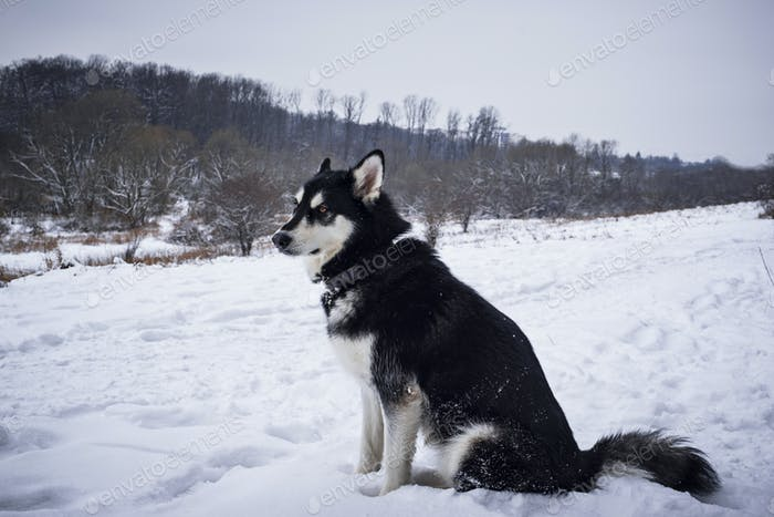 Alaskan malamute  in winter forest