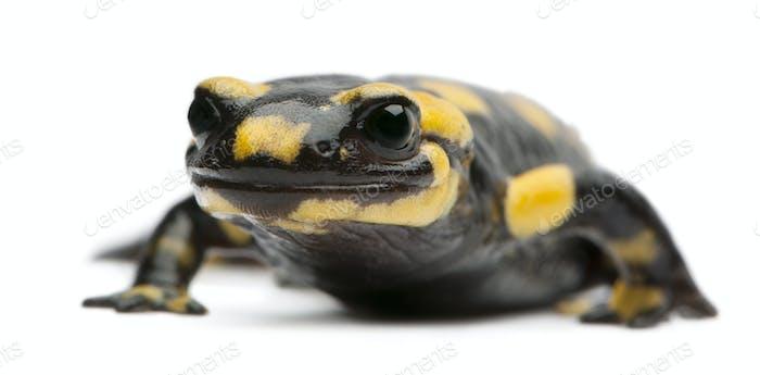Fire salamander, Salamandra salamandra, in front of white background