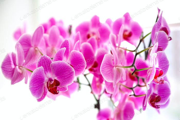 Lilac orchid on the window