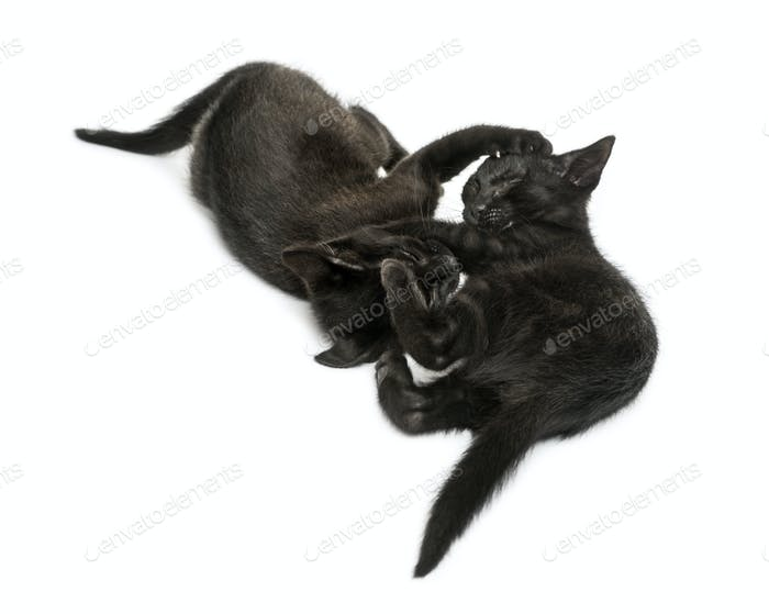 Two Black kittens playing, lying, viewed from up high, 2 months old, isolated on white