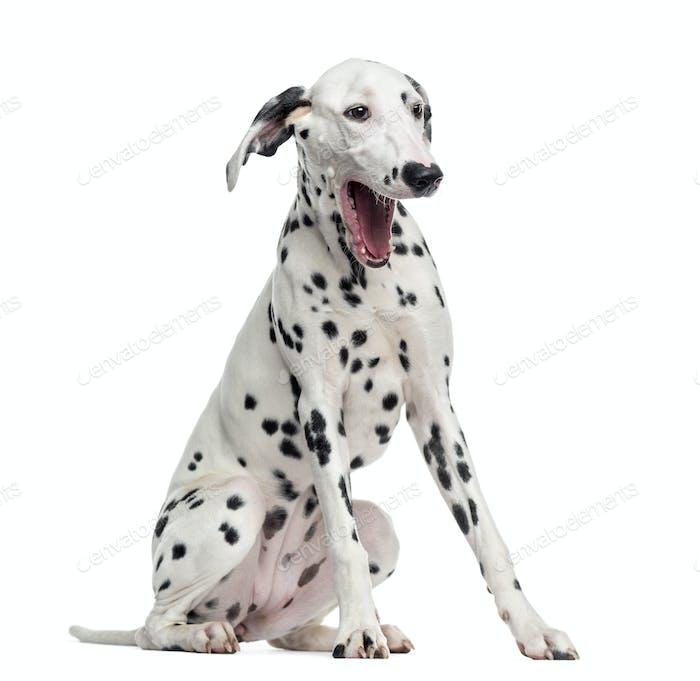 Dalmatian yawning, sitting, isolated on white