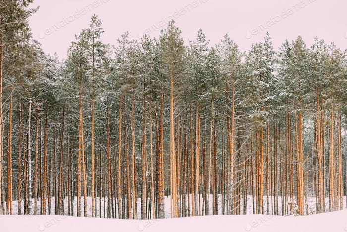 Winter Snowy Coniferous Forest Landscape Background
