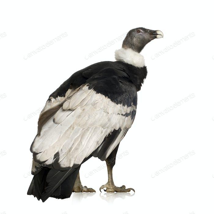 Andean Condor - Vultur gryphus (15 years)