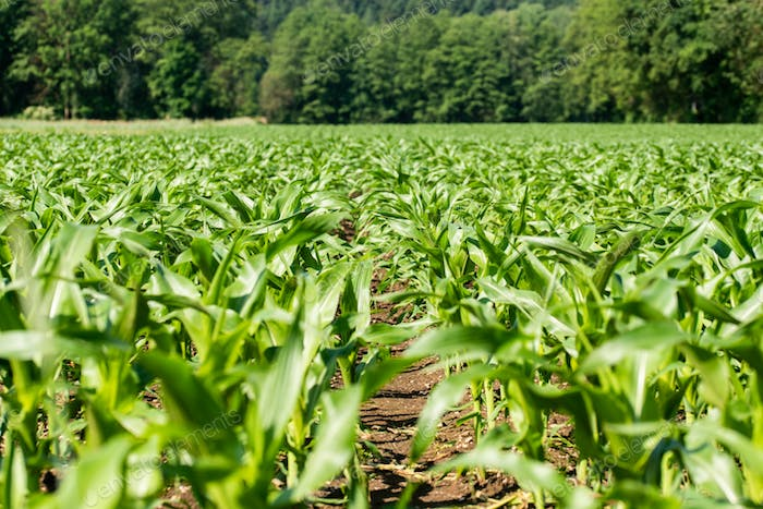 Rows of young corn growing on a field