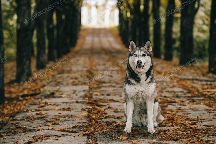 friendly husky dog sitting on foliage in autumn park