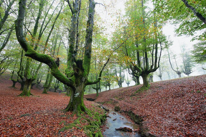 Otzarreta beech forest, Basque Country, Spain