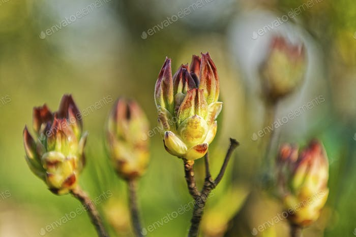 Flower buds of rhododendron on a blurred background