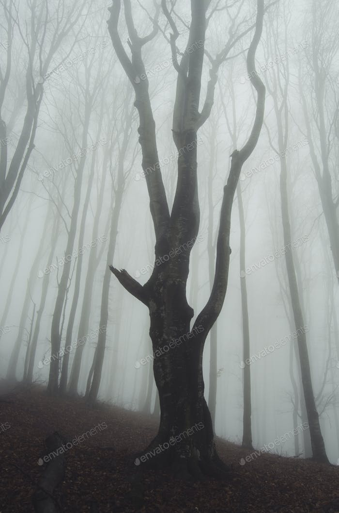 old tree in foggy forest
