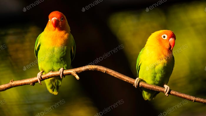 Two Beautiful parrots, Sun Conure on tree branch