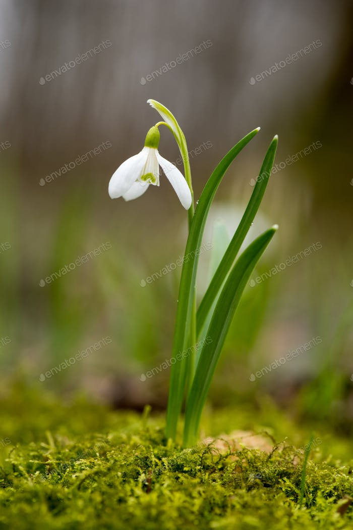 Snowdrop or common snowdrop (Galanthus nivalis) flowers