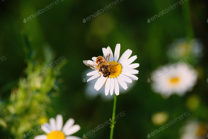 Biene auf Kamillenblume