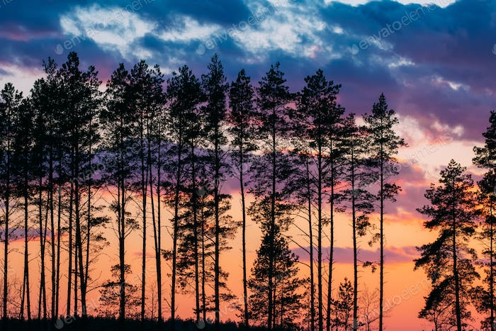 Sunset Sunrise In Pine Forest. Dark Black Spruce Trunks Silhouet