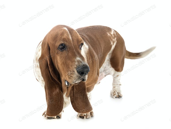 basset hound in studio