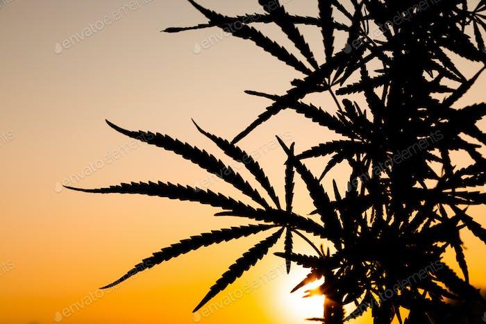 Grüne Sträucher von Marihuana. Nahansicht einer Marihuana-Cannabisknospe
