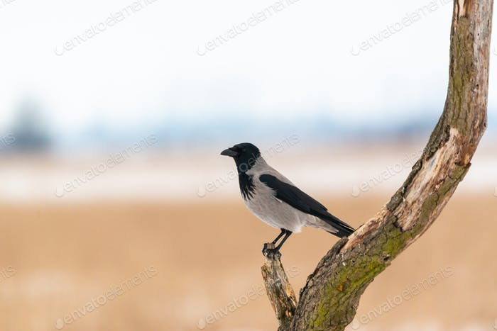 Hooded crow corvus cornix on winter field