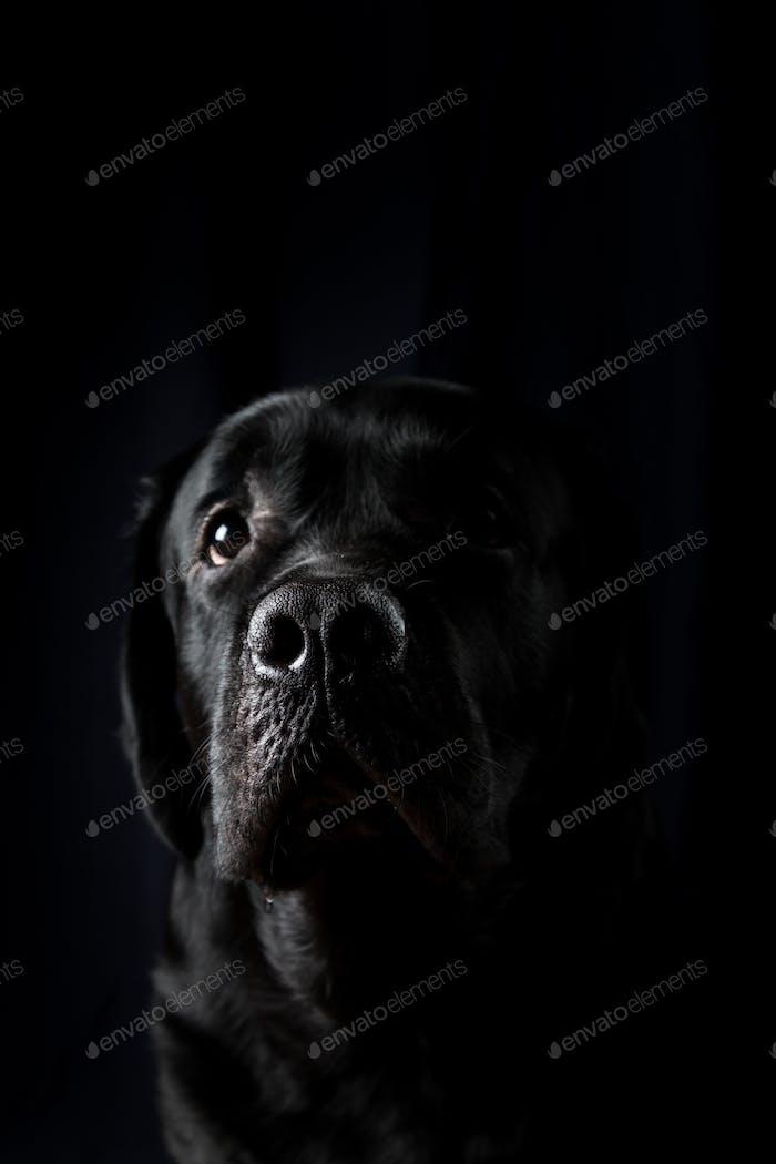 Nahaufnahme Porträt von Labrador Dog