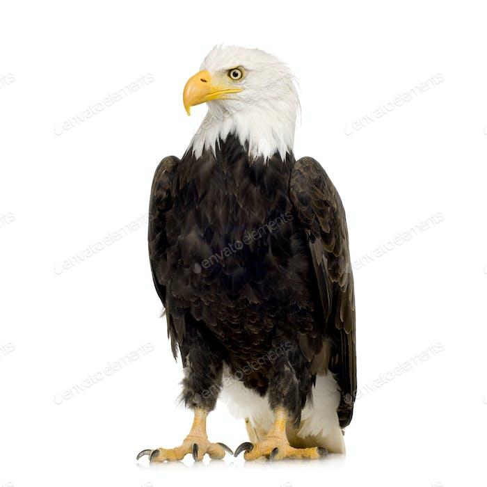 Bald Eagle (22 years) - Haliaeetus leucocephalus
