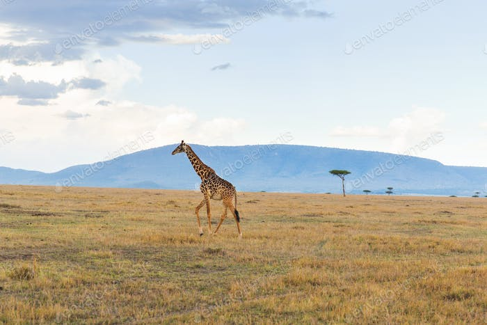 Giraffe in Savanne bei Afrika