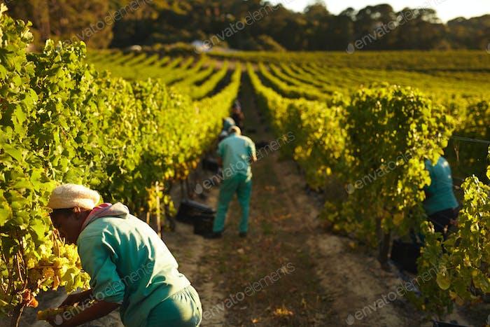 Grape pickers working in vineyard