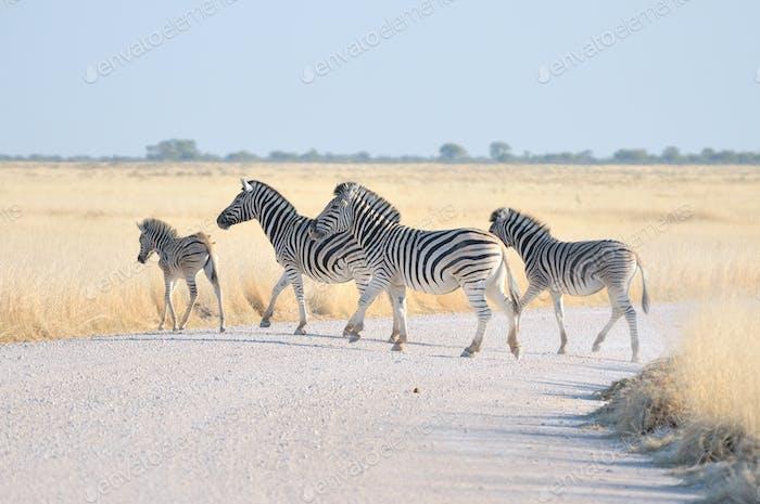Zebras crossing a road