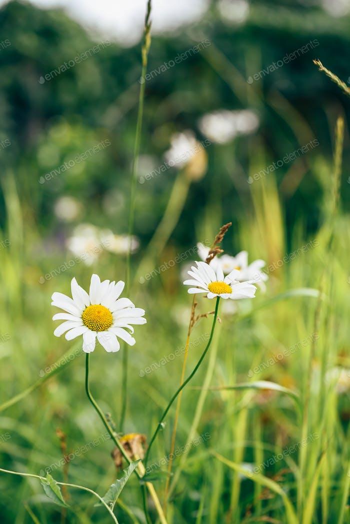 Daisy Flowers on Lawn.