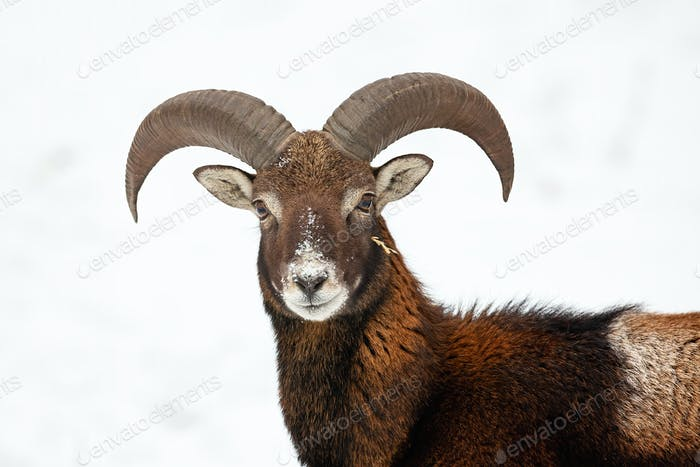 Close-up of curious wild mouflon looking to camera in wintertime