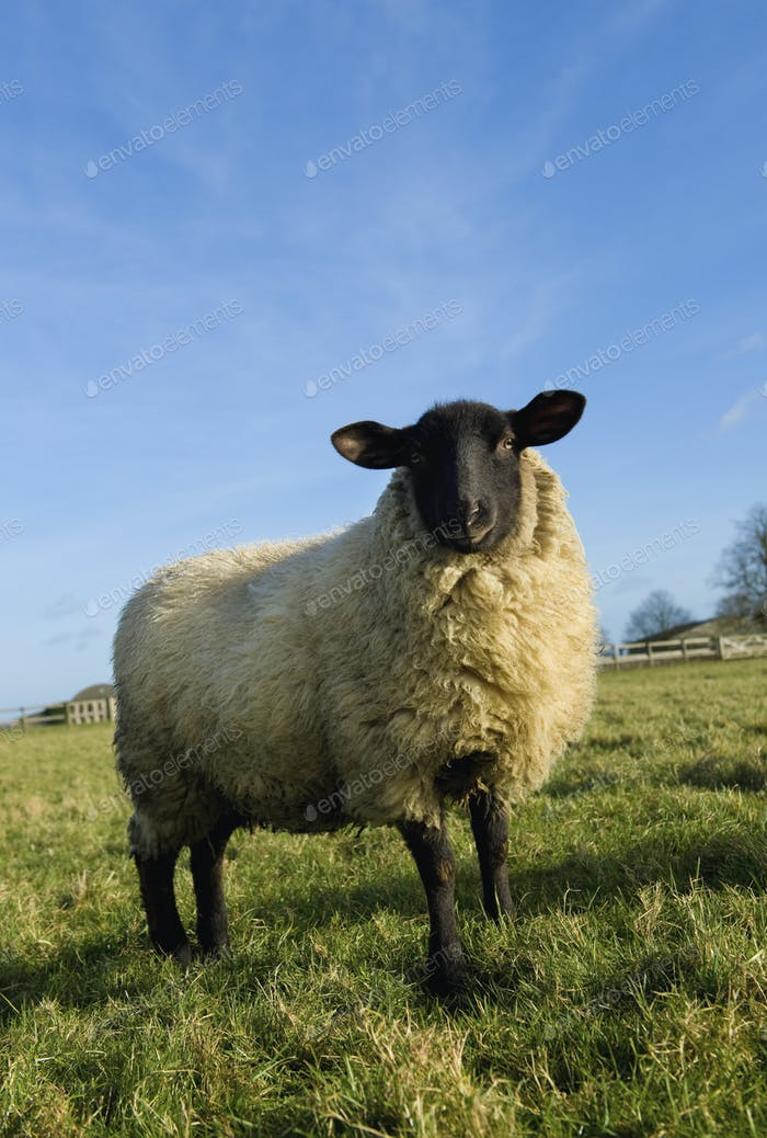 An adult sheep in a field.