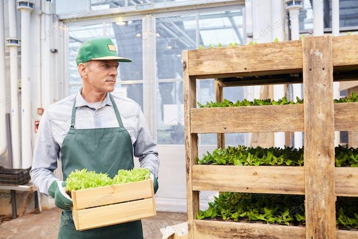 Worker at Vegetable Plantation