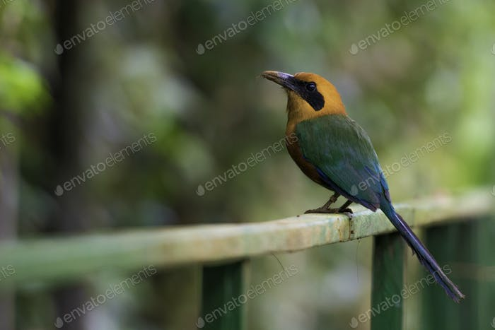 Rufous Motmot, Baryphthengus Martii. Wildlife in Costa Rica