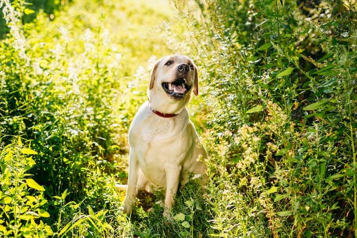 Happy White Labrador Retriever Dog Sitting In Grass, Park Backgr