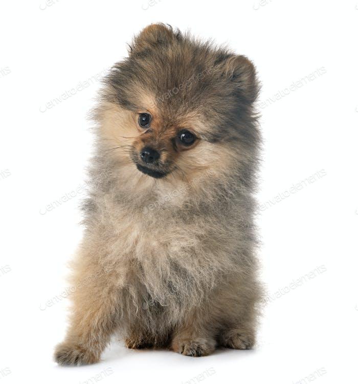 puppy pomeranian in studio