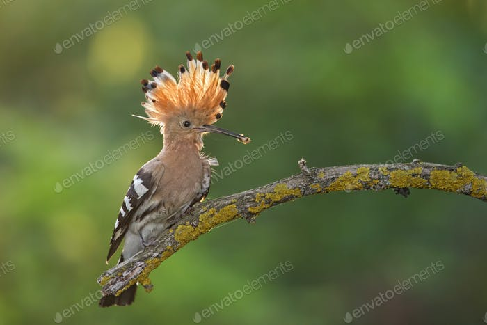Hoopoe, upupa epops, sitting on a twig with open crest and catch in the beak