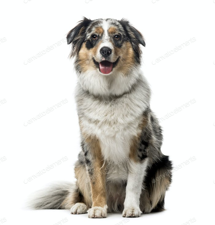 Australian Shepherd sitting, isolated on white, 1 year old