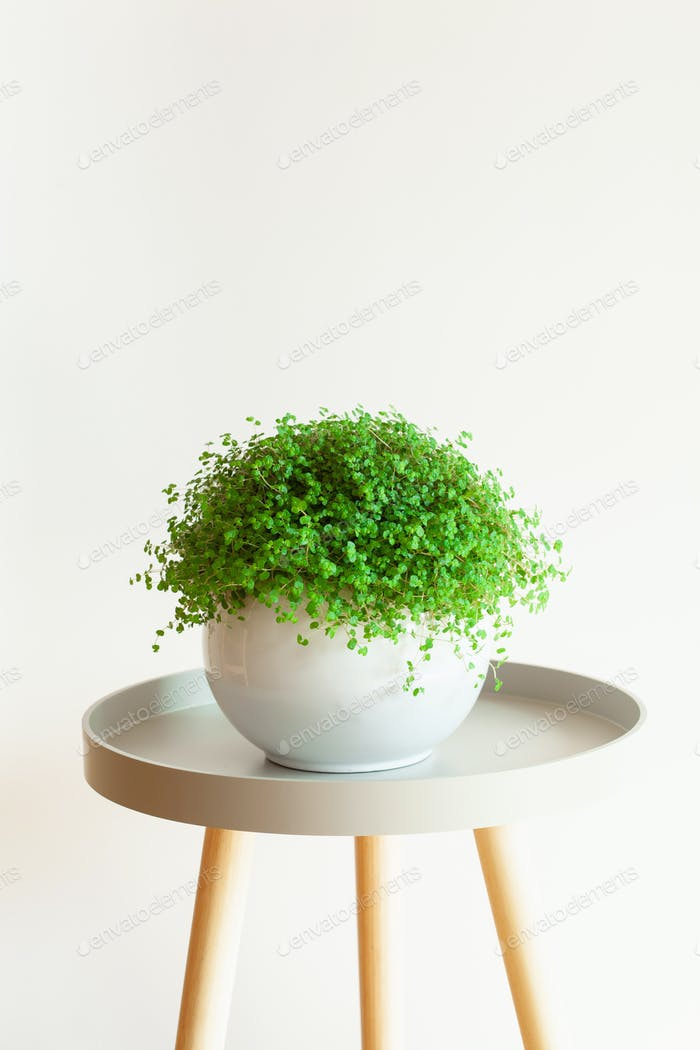 houseplant Soleirolia soleirolii in white flowerpot
