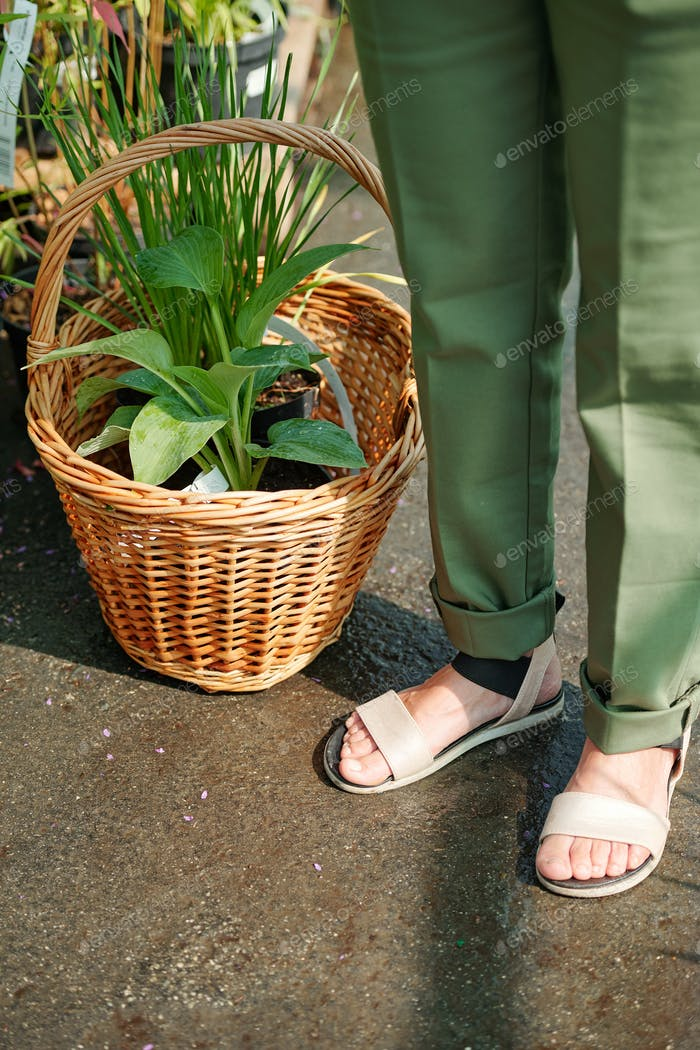 Legs of female gardener in pants and sandals standing by basket with green plant
