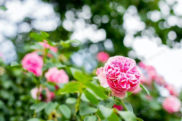 Schöne rosa Kletterrose im Garten