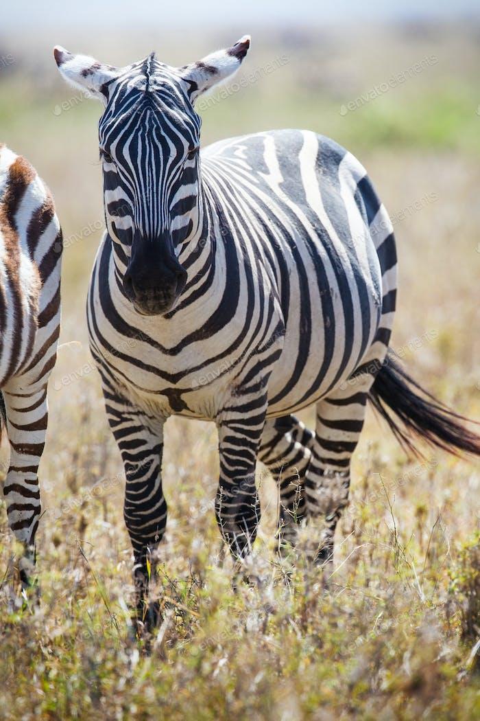 Zebra in Serengeti Tanzania