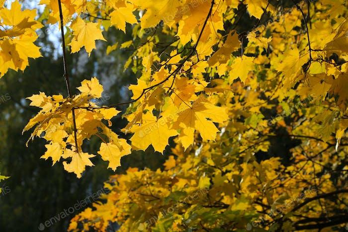 Bright autumn maple foliage illuminated by the sun
